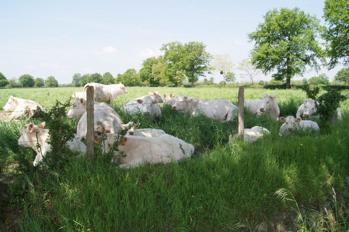 Vaches Ferme des Bruyères Vitry