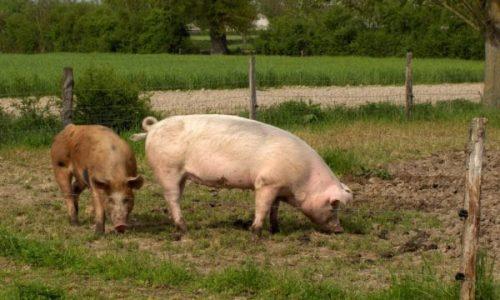 cochons Ferme des Bruyères Vitry