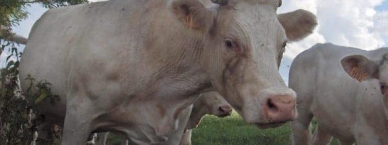 vache Ferme des Bruyères Vitry
