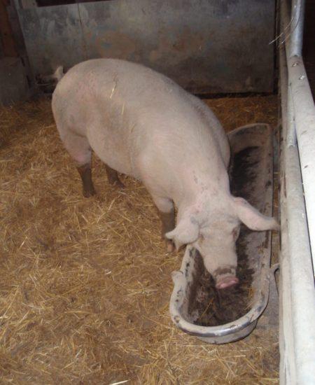 Cochon Ferme des Bruyères Vitry